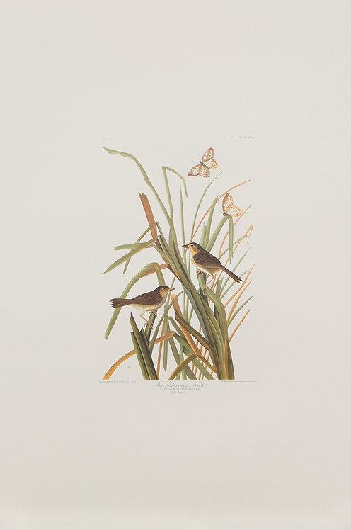 MacGillivray's Seaside Sparrow Pl 355
