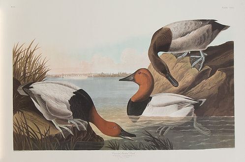 Canvas Back Duck Pl 301