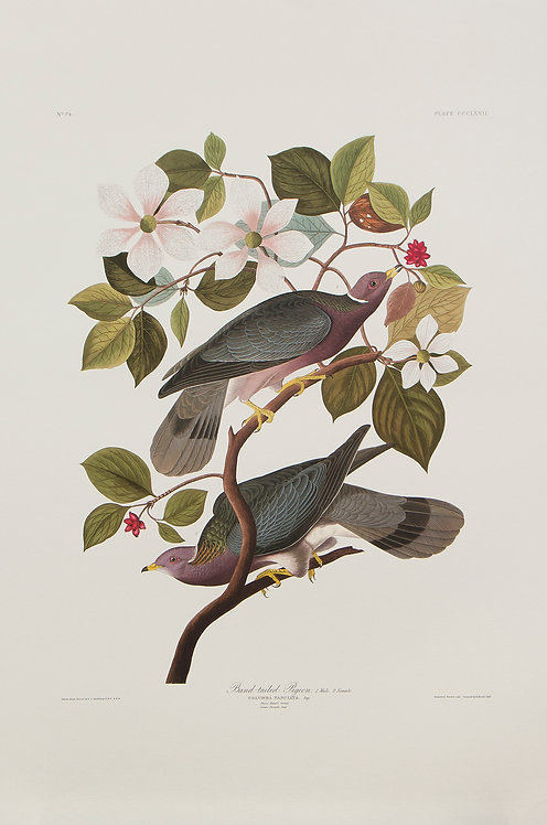 Band-Tailed Pigeon Pl 367
