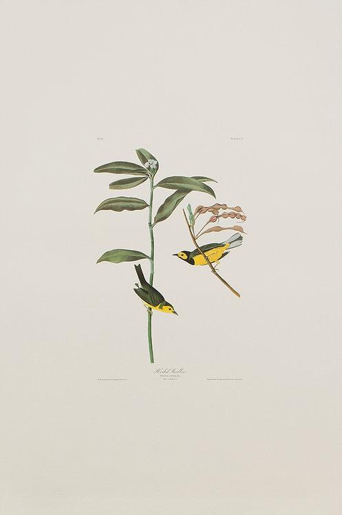 Hooded Warbler Pl 110