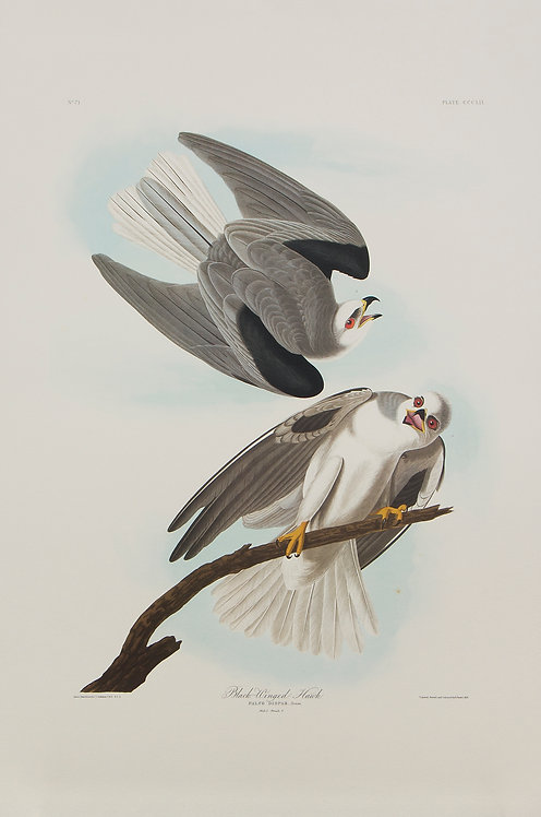 White Tailed Kite Pl 352