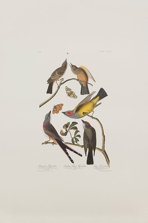 Three Tyrant Flycatchers Pl 359
