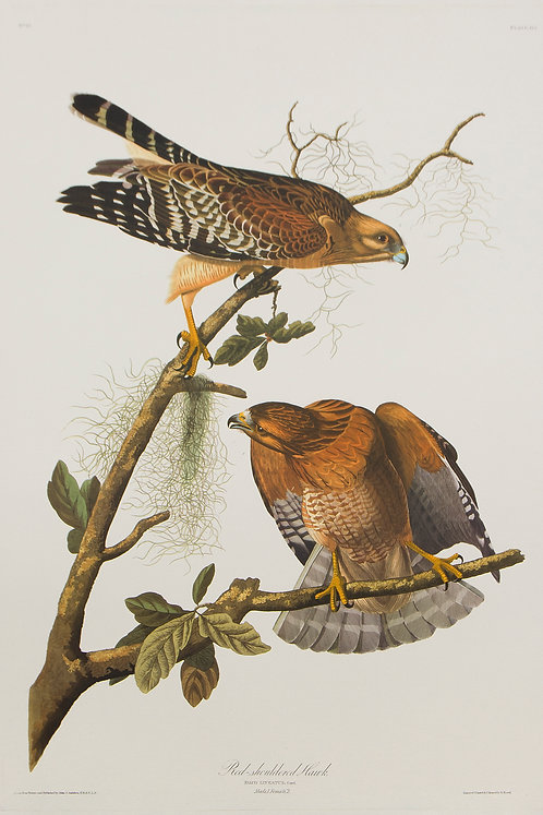 Red-Shouldered Hawk Pl 56