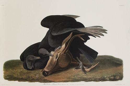 Black Vulture Pl 106