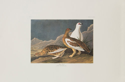 Rock Ptarmigan Pl 368