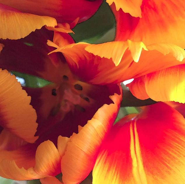 Yellow Parrot Tulip 3