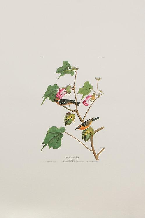 Bay-Breasted Warbler Pl 69