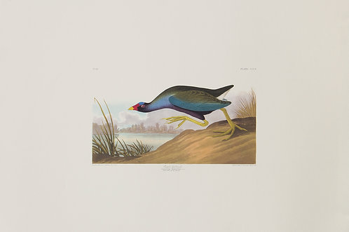 Purple Gallinule Pl 305
