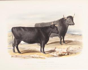 Pembroke Breed