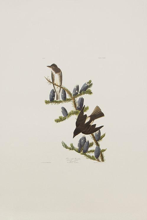 Olive Sided Flycatcher Pl 174