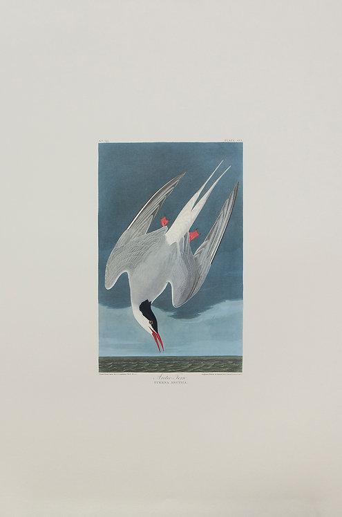 Arctic Tern Pl 250