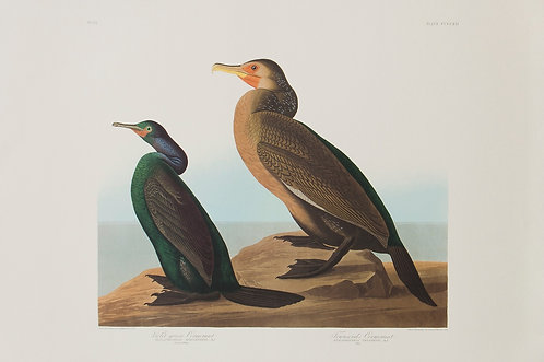 Two Cormorants Pl 412