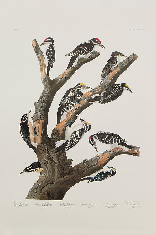 Ten Woodpeckers Pl 417