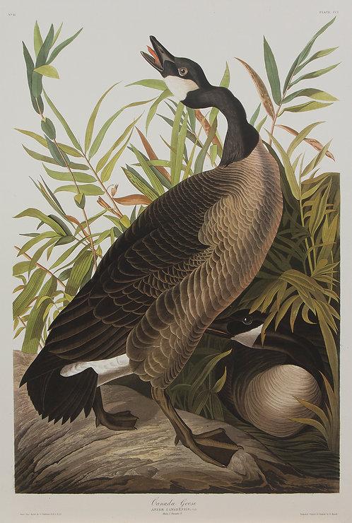 Canada Goose Pl 201