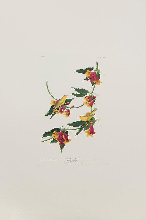 Rathbone Warbler Pl 65