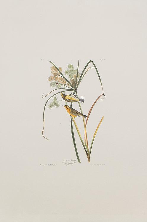 Prarie Warbler Pl 14