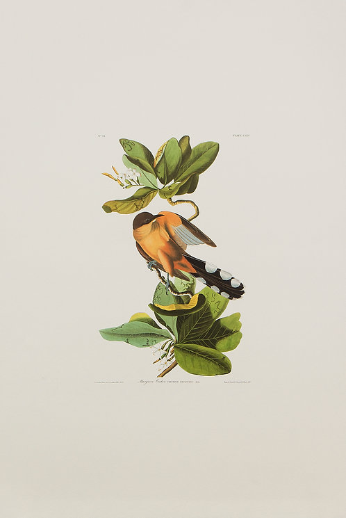 Mangrove Cuckoo Pl 169