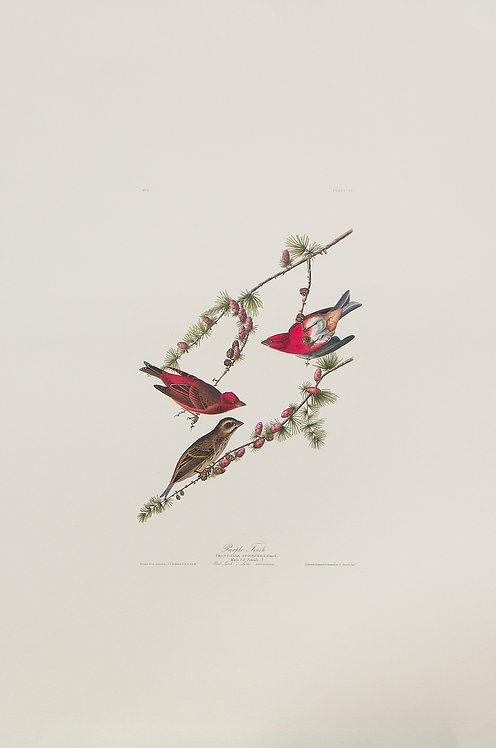Purple Finch Pl 4