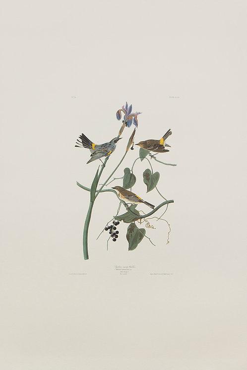 Yellow Rump Warbler Pl 153