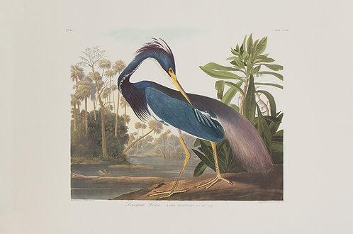 Louisiana Heron Pl 217