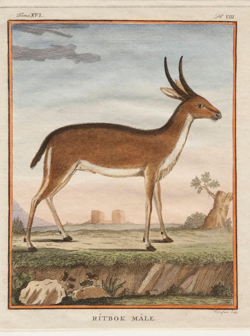Rîtbok Mâle