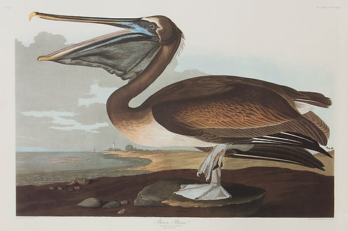 Brown Pelican Pl 421