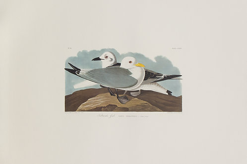Kittiwake Gull Pl 224