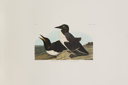 Foolish Guillemot Pl 218