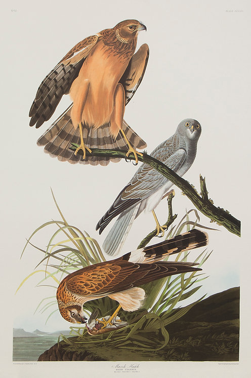 Marsh Hawk Pl 356
