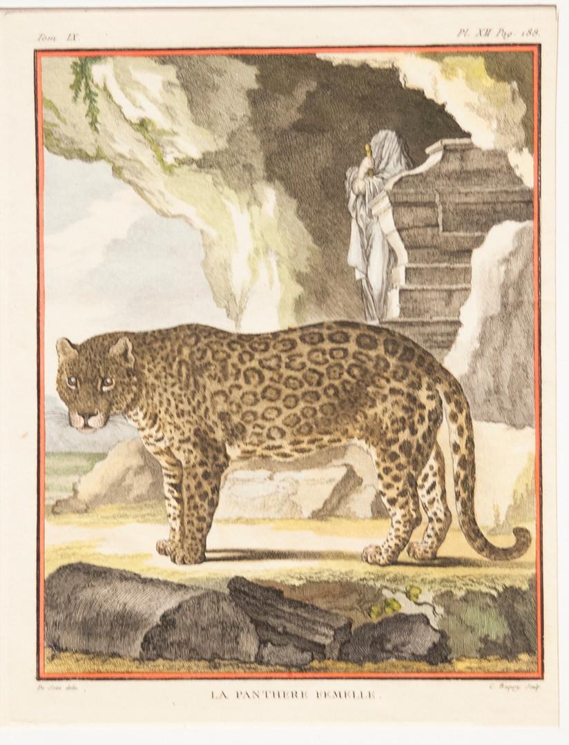 La Panthere Femalle