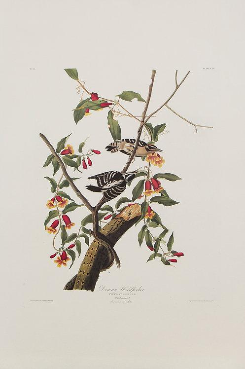 Downy Woodpecker Pl 112