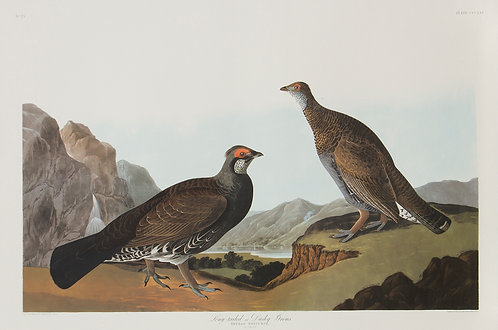 Dusky Grouse Pl 361