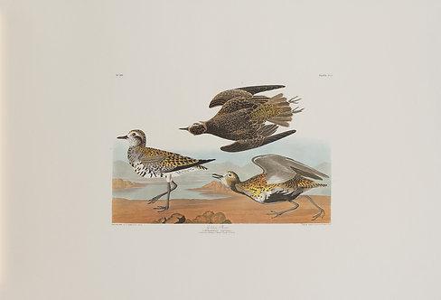 Golden Plover Pl 300