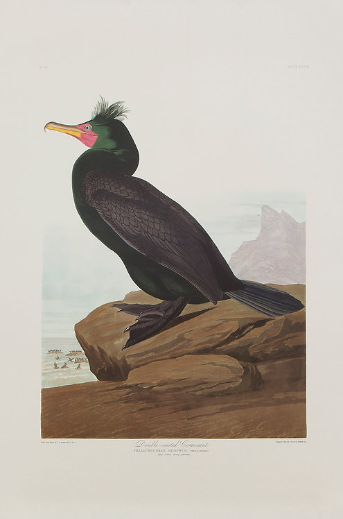 Double-Crested Cormorant Pl 257