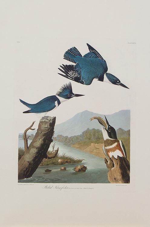 Belted Kingfisher Pl 77