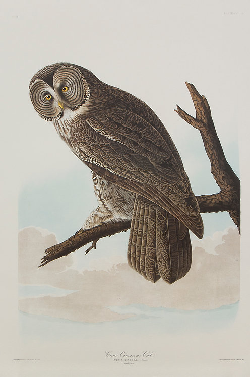 Great Gray Owl Pl 351