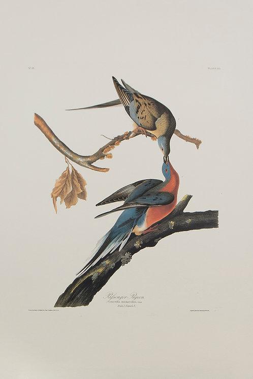 Passenger Pigeon Pl 62