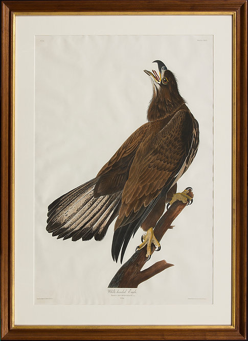 White-Headed Eagle (Young)