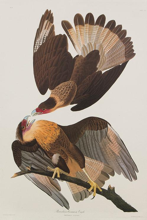 Brazilian Caracara Eagle Pl 161