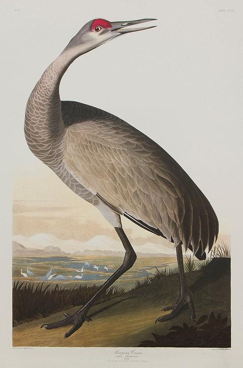 Hooping Crane Pl 261