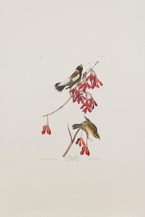 Rice Bird Pl 54