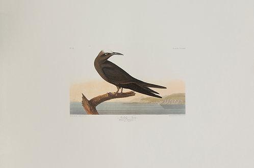 Noddy Tern Pl 275