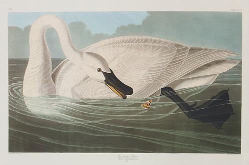 Trumpeter Swan (Adult) Pl 406