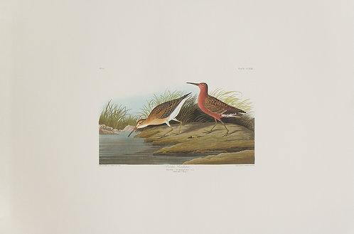 Curlew Sandpiper Pl 263