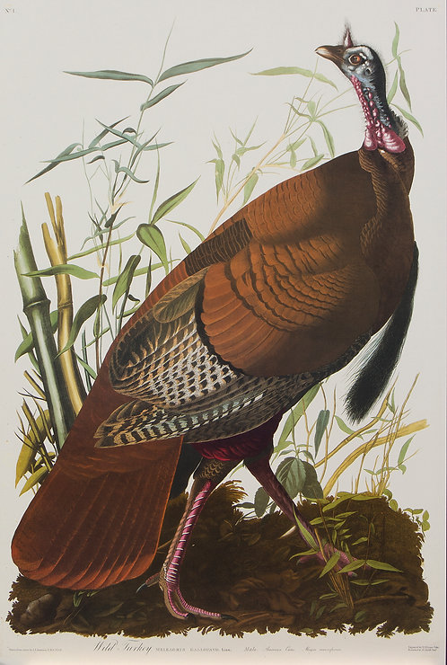 Wild Turkey Pl1