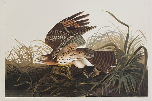Winter Hawk Pl 71