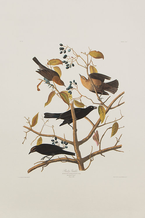 Rusty Grackle Pl 157