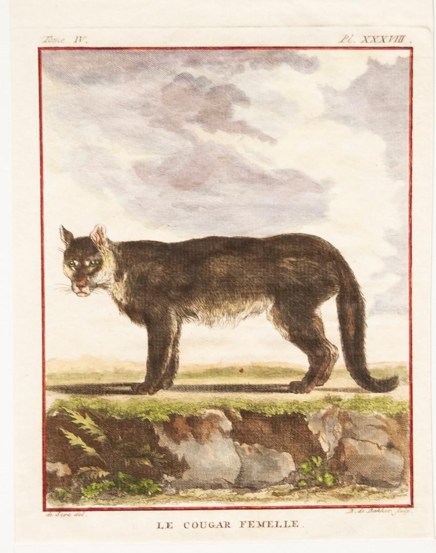 Le Cougar Femelle