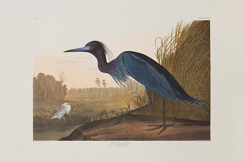 Little Blue Heron Pl 307