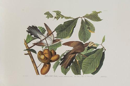 Yellow Biled Cuckoo Pl 2